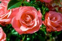 roses-1198495_1280